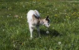 Het zwart-witte babygeit voeden op een ketting tegen gras en bloemen op een achtergrond Het witte belachelijke jonge geitje is ge stock afbeelding