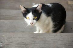 Het zwart-witte kat kijken Stock Foto's
