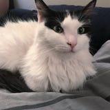Het zwart-witte kat ontspannen Stock Foto