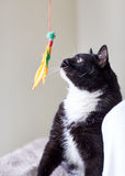 Het zwart-witte kat spelen met veerstuk speelgoed Stock Afbeeldingen