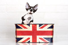 Het zwart-witte katje van Devon rex Stock Foto