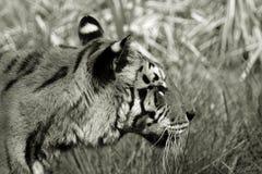 Het zwart-witte tijger mengen in de achtergrond Stock Fotografie