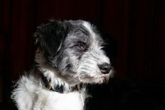 Het zwart-witte zijgezicht van het hondportret royalty-vrije stock afbeelding