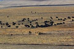 Het zwarte Angus Cattle-weiden Stock Foto's