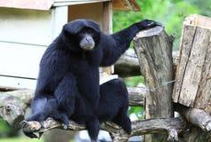 Het zwarte apen leeg zitten Stock Afbeeldingen