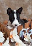 Het zwarte Basenji-hondpuppy zit in de mand Royalty-vrije Stock Foto's