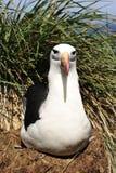 Het zwarte browed Eiland van albatrossaunders Royalty-vrije Stock Foto