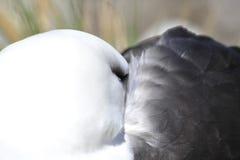 Het zwarte browed Eiland van albatrossaunders Stock Fotografie