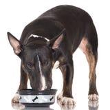 Het zwarte bull terrier-hond eten royalty-vrije stock afbeelding