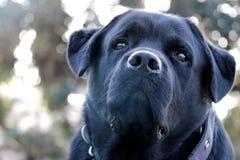 Het zwarte close-up van het de hondgezicht van Labrador, die vreemd eruit zien stock foto