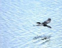 Het zwarte eend vliegen stock fotografie