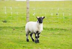 Het zwarte eiland van gezichtsschapen van Mull Schotland het UK met hoornen en witte en zwarte benen Stock Foto