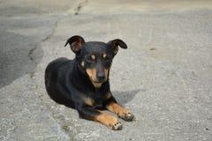 Het zwarte en rode hond rusten Stock Foto's