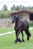 Het zwarte friese paard bij toont Royalty-vrije Stock Fotografie