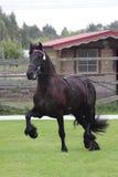 Het zwarte friese paard bij toont Royalty-vrije Stock Afbeeldingen