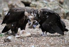 Het zwarte gieren eten Royalty-vrije Stock Foto
