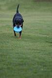 Het zwarte hond spelen met blauwe frisbeeschijf Stock Foto