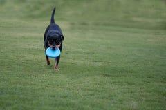 Het zwarte hond spelen met blauwe frisbeeschijf Stock Foto's