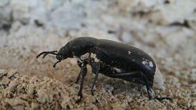 Het zwarte insect bewegen zich stock videobeelden