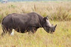 Het zwarte Kalf van de Rinoceros Stock Fotografie