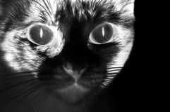 Het zwarte kat staren Stock Afbeeldingen