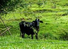 Het zwarte koe kijken Royalty-vrije Stock Foto's