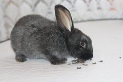 Het zwarte konijn eet zaden van zonnebloemzaden Stock Foto