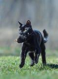 Het zwarte kortharige kat spelen met dode mol Stock Fotografie
