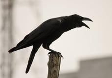 Het zwarte kraai krassen zwarte vogel die die op een stok prediken, op de stadsachtergrond wordt geïsoleerd stock foto's
