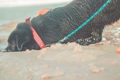 Het zwarte Labrador graven in zand op strand Mooie grappige hond gelukkig bij het strand stock afbeeldingen