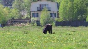Het zwarte mooie veulen eet vers gras op gebied dichtbij dorp bij zonnige dag stock video