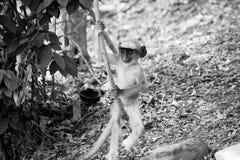 Het zwarte onder ogen gezien babyaap spelen onder banyan boom Royalty-vrije Stock Foto