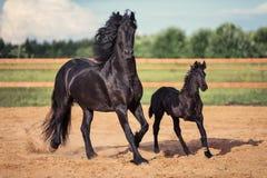 Het zwarte paard en veulen lopen Royalty-vrije Stock Foto's