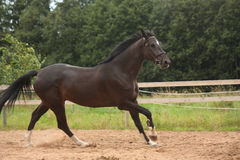 Het zwarte paard galopperen vrij bij het gebied Stock Fotografie