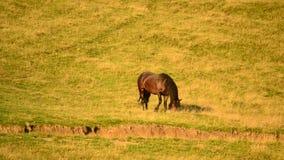 Het zwarte paard weiden op weiland met gedeeltelijk droog gras stock videobeelden