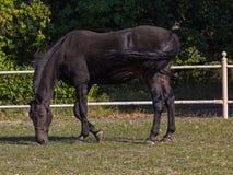 Het zwarte paard weiden verlicht door de zon Stock Afbeelding