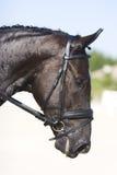 Het zwarte portret van het dressuurpaard Royalty-vrije Stock Afbeelding