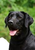 Het zwarte portret van Labrador Royalty-vrije Stock Afbeeldingen