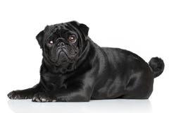 Het zwarte Pug liggen Stock Afbeeldingen