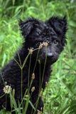 Het zwarte puppy van de hond Kroatische herdershond Royalty-vrije Stock Foto's