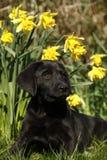 Het zwarte Puppy van Labrador in de Gele narcissen Stock Fotografie