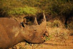 Het zwarte Rinoceros Voeden Royalty-vrije Stock Foto's