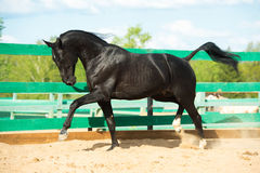 Het zwarte Russische portret van het draverpaard in motie in paddock Royalty-vrije Stock Afbeeldingen