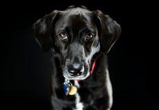 Het zwarte Schot van de Labradorstudio Stock Fotografie