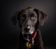 Het zwarte Schot van de Labradorstudio Stock Afbeeldingen