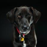 Het zwarte Schot van de Labradorstudio Royalty-vrije Stock Foto