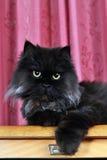 Het zwarte stellen van de Perzische kat Royalty-vrije Stock Afbeelding