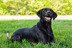 Het zwarte Stellen van Labrador voor de Camera Royalty-vrije Stock Afbeelding