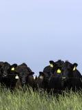 Het zwarte vee van Angus achter elektrische omheining - verticaal royalty-vrije stock afbeeldingen