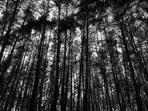 Het zwarte/witte bos van de sparpijnboom op de achtergrond van duidelijke hemel royalty-vrije stock fotografie
